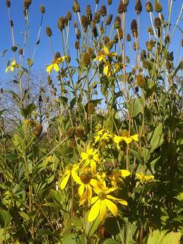 hölderin blommor